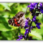 """American (painted) Lady Butterfly Side View"" by flowerchild6482"