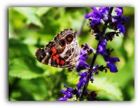 American (painted) Lady Butterfly Side View