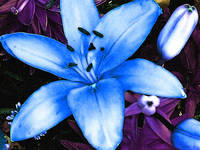 Blue Asiatic Lily