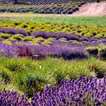 """Lavender Fields"" by CaptureLife"