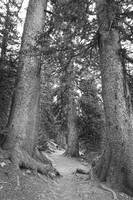 Rocky Mountain Forest Trail BW