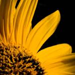 """""""Sunflower Core"""" by NCCreations"""