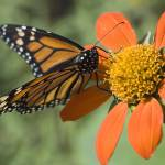 """_DSC6847 Monarch butterfly on a flower"" by eyalna"