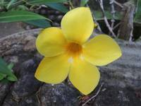 tropical yellow flower