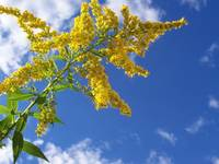 Goldenrod in The Sky
