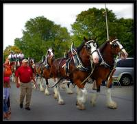 Clydesdales in Lundington MI