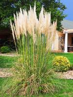 Pampas Grass - Morehead City NC