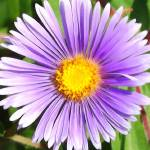 """Purple Daisy"" by privera"