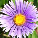 """""""Purple Daisy"""" by privera"""