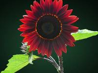 Cherry and Chocolate Sunflower