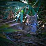 """Female Bobcat"" by MarkAndrewThomas"