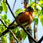 """""""Robin"""" by ralphnelsen"""