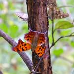 """Question Mark Butterfly"" by WildAboutNaturePhotography"