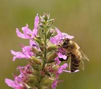 Honey Bee On Purple Loosestrife