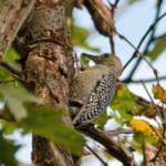 """Juvenile Red-bellied Woodpecker"" by WildAboutNaturePhotography"