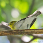 """Yellow-throated Vireo"" by WildAboutNaturePhotography"
