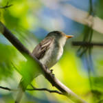 """Eastern Wood-pewee"" by WildAboutNaturePhotography"
