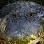"""American Alligator"" by MarkAndrewThomas"