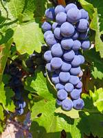 Idaho Grapes