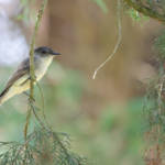 """Eastern Phoebe"" by WildAboutNaturePhotography"