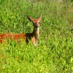 """Hill Country Fawn"" by TealWingPhotography"