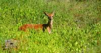 Hill Country Fawn