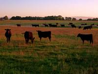 Pasture of Black Angus