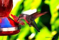 Female Ruby-throated Hummingbird at the Feeder