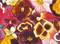 Pansies Competing For Attention