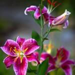 """Stargazer Lily"" by RHMiller"