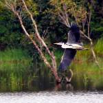 """Grey Heron"" by Prashanthe"