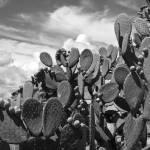 """Bajio Cactus"" by ArmenKojoyian"