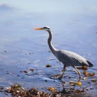 Great Blue Heron Strolling Art Prints & Posters by Jennifer Demler