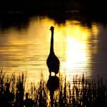 """""""Blue Heron Sunrise"""" by MarkAndrewThomas"""