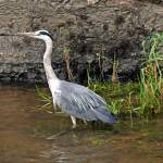 """River Suir Heron"" by JMcCoubreyPhotography"