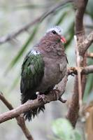 Green-winged Dove