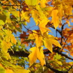 """Yellow Autumn Leaves art prints Blue Sky Beautiful"" by BasleeTroutman"