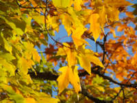 Yellow Autumn Leaves art prints Blue Sky Beautiful