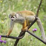 """Squirrel Monkey"" by pixdigital"