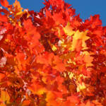 """Red Orange Autumn Leaves art prints Blue Sky"" by BasleeTroutman"