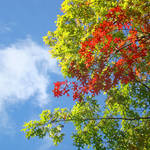 """Blue Sky Autumn Leaves art prints Fall Trees"" by BasleeTroutman"