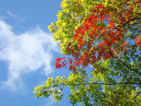 Blue Sky Autumn Leaves art prints Fall Trees