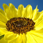 """Yellow Sunflower art prints Summer Sun Flowers"" by BasleeTroutman"