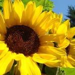 """Golden Yellow Sunflowers Art Prints Garden Nature"" by BasleeTroutman"