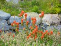Hillside Flower Meadow - Indian Paintbrush