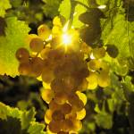 """""""121 Golden Grapes"""" by willphoto"""
