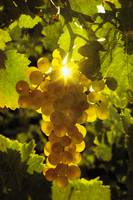 121 Golden Grapes