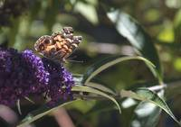 Painted Lady on Buddleia - butterfly bush