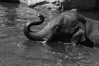 Black and White Elephant in Water