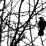 """""""Bramble Bird"""" by ralphnelsen"""